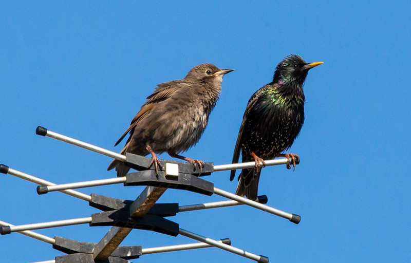starlings on an aerial – aerial installation on roof