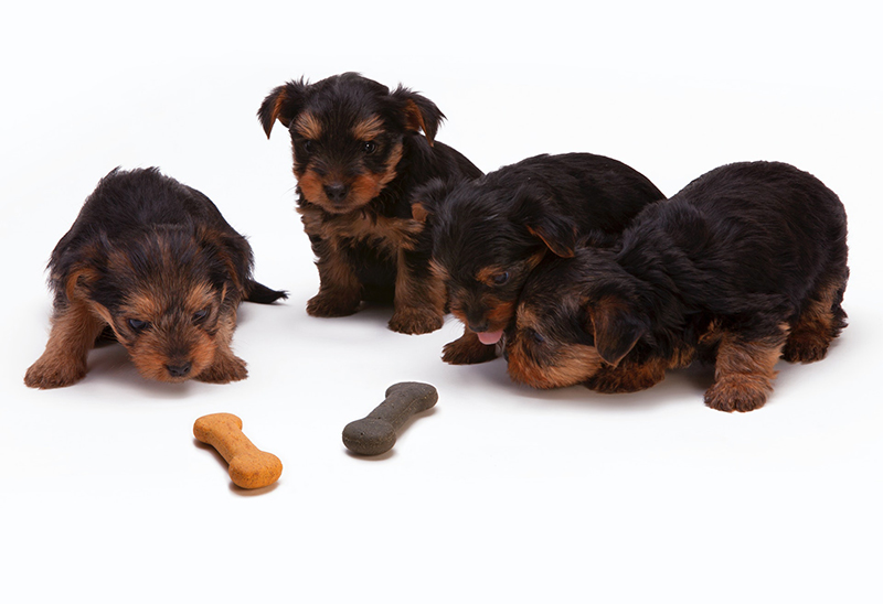 black and tan yorkshire terrier puppies looking at dog food biscuits