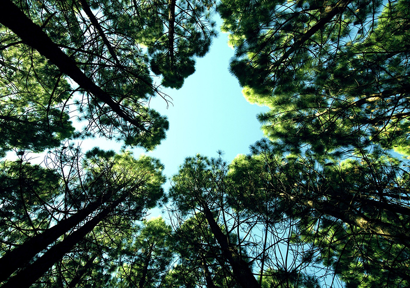 looking up from the ground through tree canopy