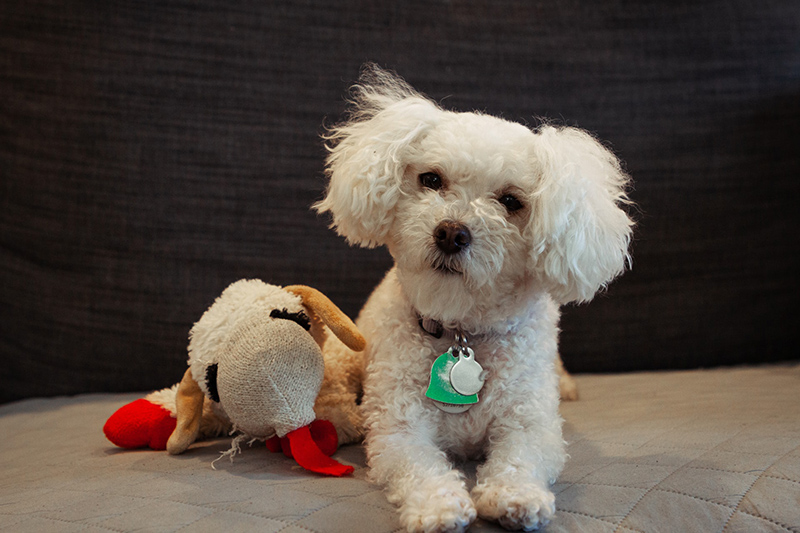 White puppy beside his dog toy