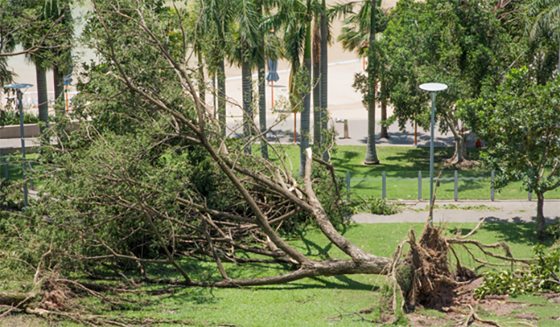 uprooted tree lying on its side in landscaped park area