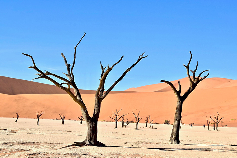 Dried trees in the desert