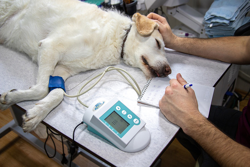 dog laying on the bed undergo blood pressure check up